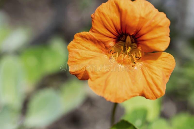 Nasturcja pomarańczowy Kwiat fotografia royalty free