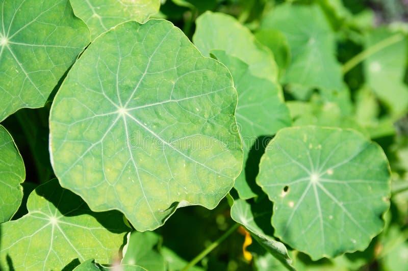 Nasturcja zielony liść rośliny tła jaskrawy sekwens na flowerbed fotografia royalty free