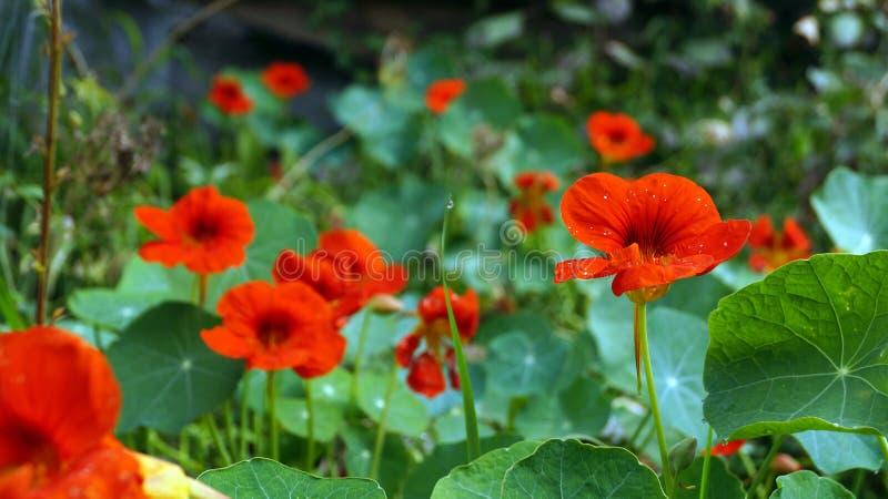 Nasturtium το λουλούδι ή Tropaeolum είναι το όνομα αυτού του όμορφου λουλουδιού στοκ φωτογραφία