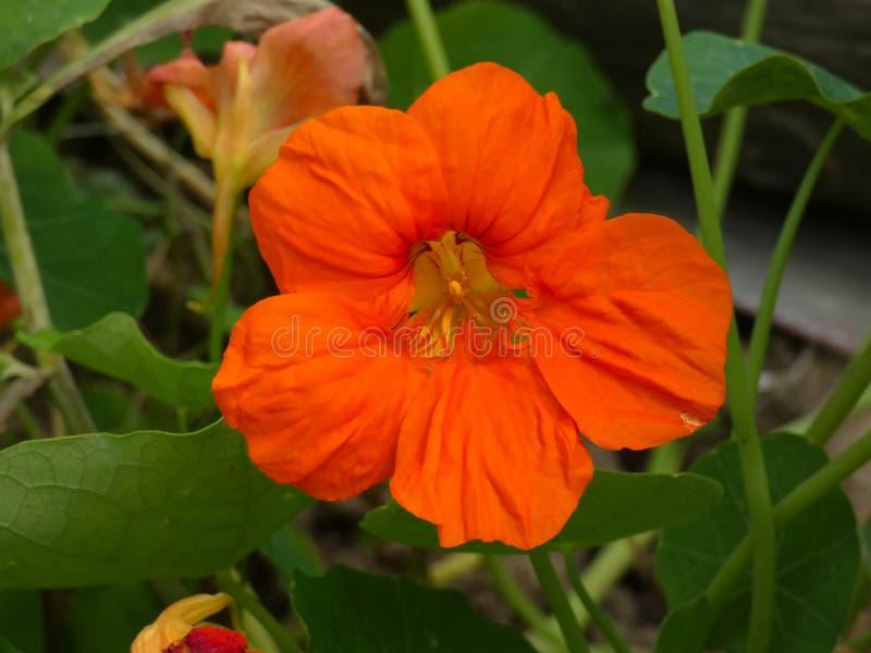 Nasturtium λουλούδι κήπων Tropaeolum στοκ φωτογραφία με δικαίωμα ελεύθερης χρήσης