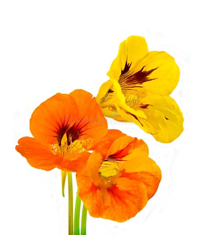 nasturtium τρία λουλουδιών στοκ φωτογραφίες με δικαίωμα ελεύθερης χρήσης
