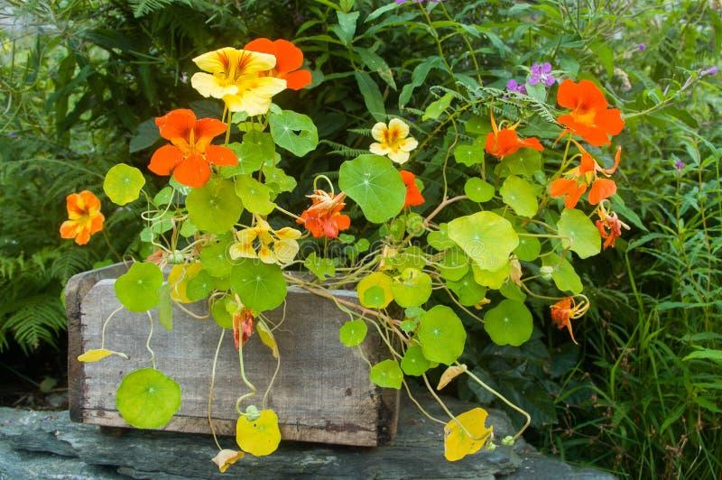 Download Nasturtium stock image. Image of home, wooden, gardens - 28257159