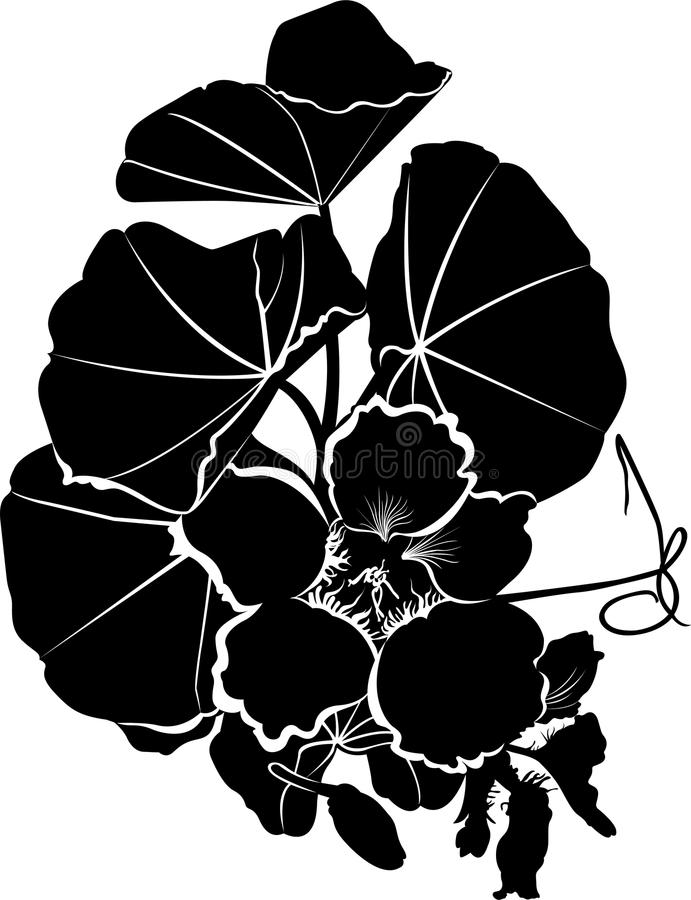 Nasturtium stock illustration