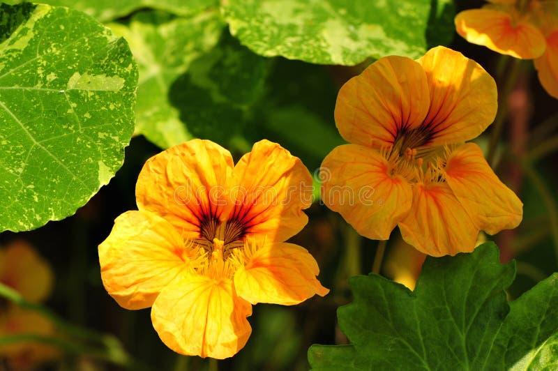 Nasturtium flower. In full bloom stock photography