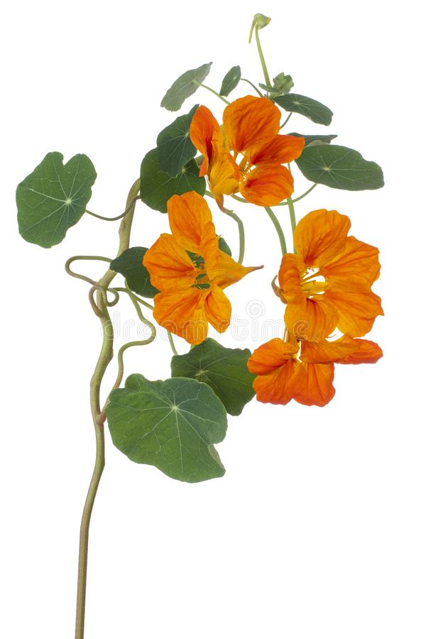 Nasturtium flower isolated stock images