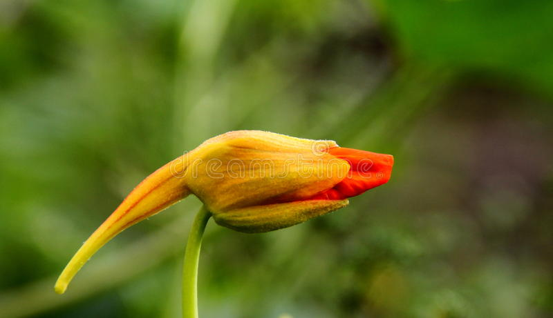 Nasturtium flower. The Tropaeolum (nasturtium) orange flower royalty free stock image