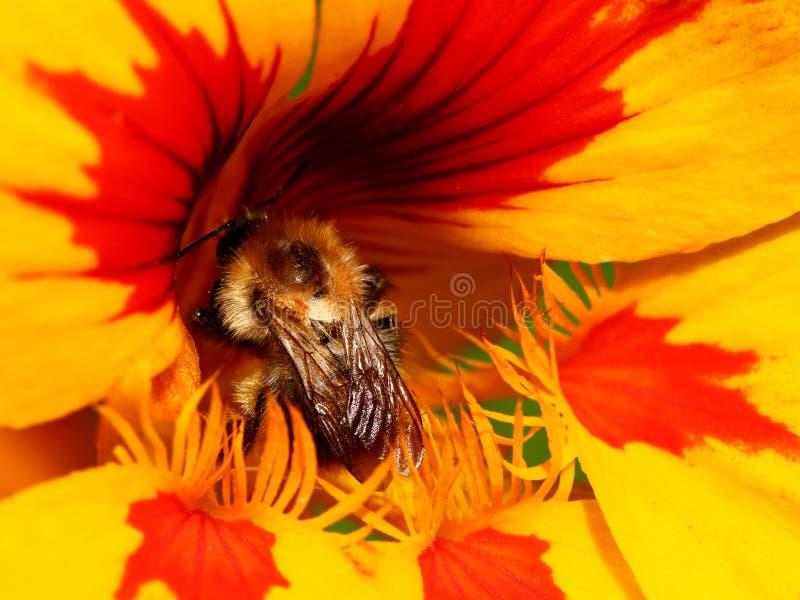 Nasturtium flower. The Tropaeolum (nasturtium) red and yellow flower with bee inside royalty free stock image