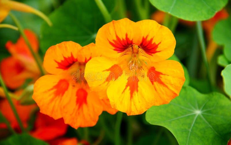 Nasturtium flowers. The Tropaeolum (nasturtium) orange flowers royalty free stock photo