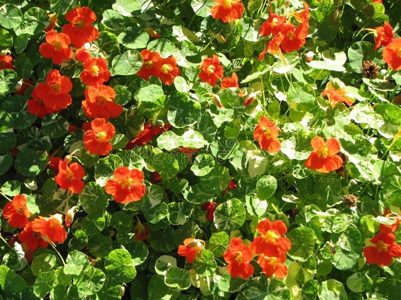 Nasturtiums.jpg fotografie stock libere da diritti