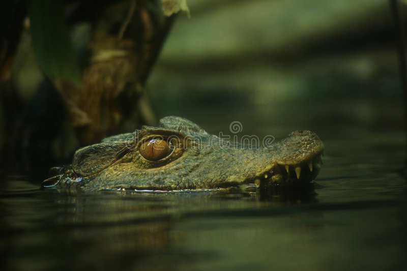 Download Nasty Caiman stock image. Image of crocodile, river, thick - 803015