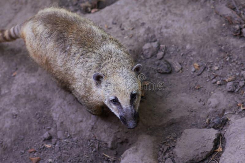 Nasua Κλείστε επάνω το ζωικό πορτρέτο μύτης στοκ φωτογραφίες