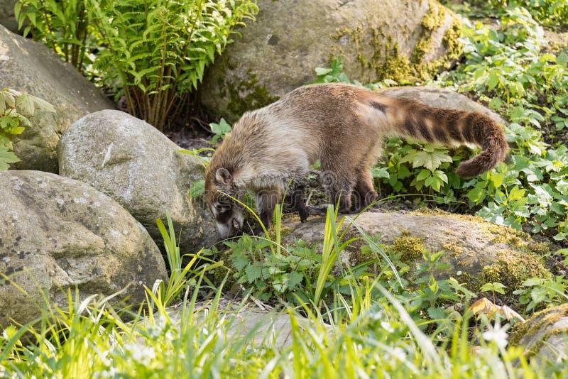 Nasua raccoon coati. Brown-nosed Coati in Prague. royalty free stock photo