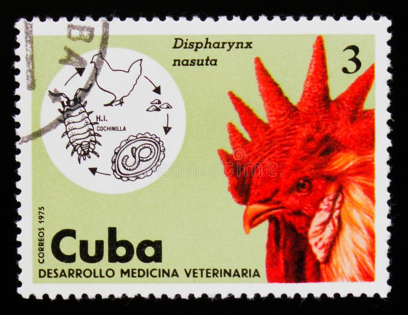 Nasuta Nematoda de Dispharynx, domesticus de gallus de Gallus de coq, serie de médecine vétérinaire, vers 1975 photos libres de droits