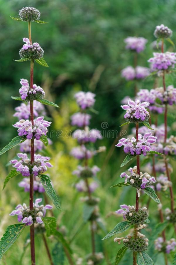 Naszłego lata wysokości fragrant kwiaty obrazy royalty free