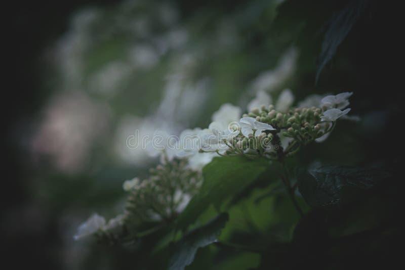 Natürlicher Hintergrund des dunkelgrünen mysteriösen Frühlinges mit weißen Blumen, Natur im Freien, Weichzeichnung, teilweise uns stockfoto