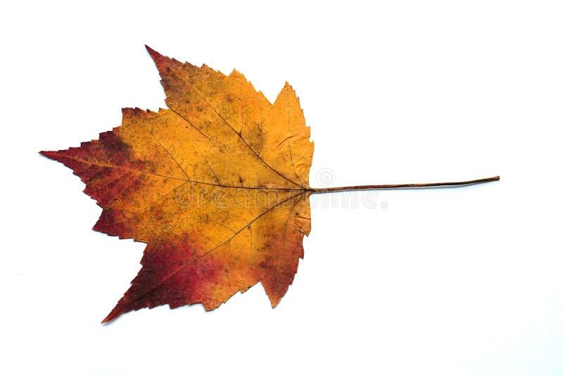 Natürlich getrocknetes gelbliches rotes und orange Mischfarbahornblatt im weißen Hintergrund stockbild