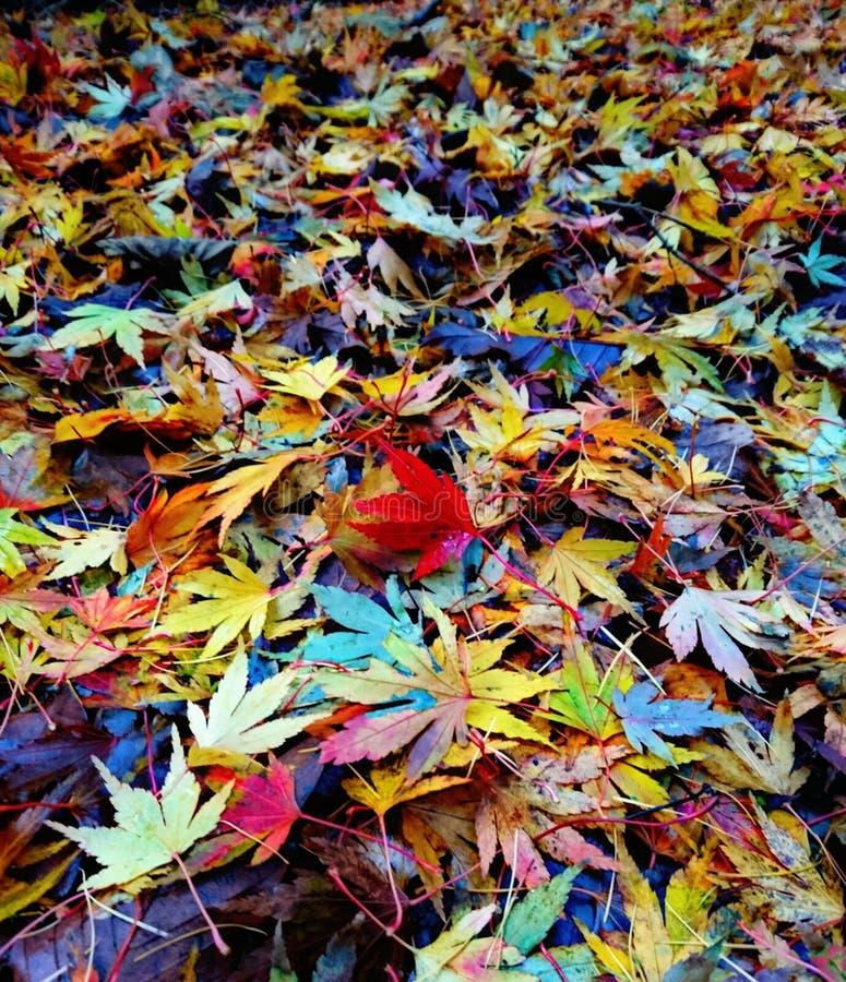 Natürliche Acer-Blätter im Herbst stockbild