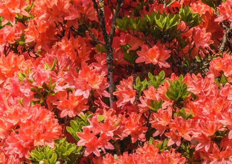 Natürliche Ansicht der bunten roten Lilie, die im Garten unter natürlichem Sonnenlicht am sonnigen Sommer- oder Frühlingstag blüh stockbild