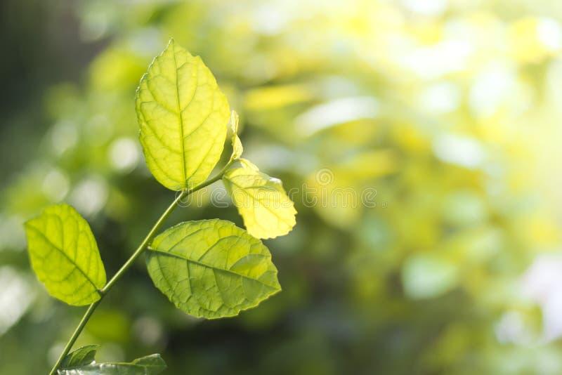 Natürliche Ansicht des grünen Laubs im Garten im Sommer unter der Sonne Natürliche grüne Baumlandschaft verwendet als Hintergrund stockbild