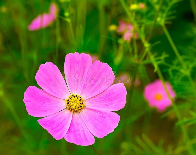 Natürliche Ansicht von rosa Kosmosblumen stockbild