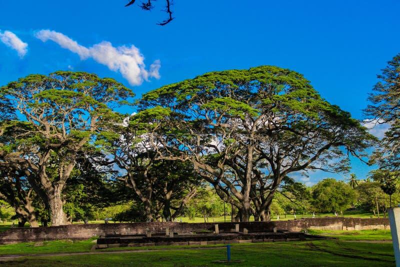 Natürliche Baum- und Himmelblume Sri Lanka stockbilder