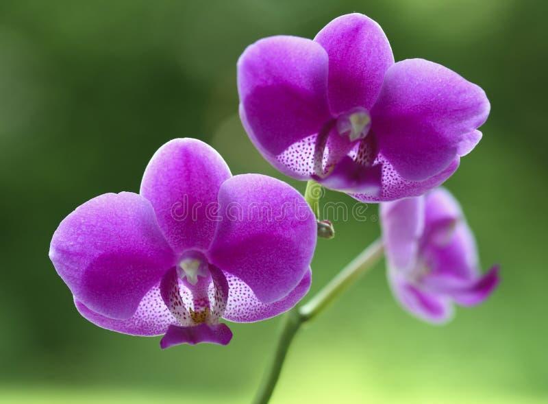 Natürliche Blume der Orchidee stockbilder