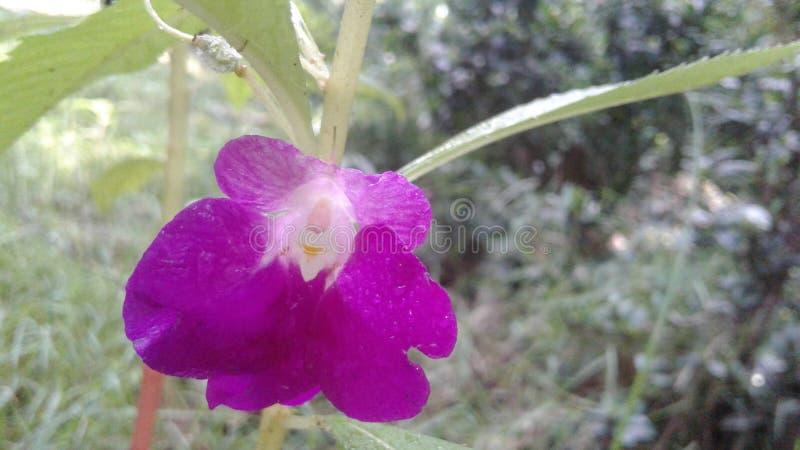 Natürliche Blume in Sri Lanka stockbilder
