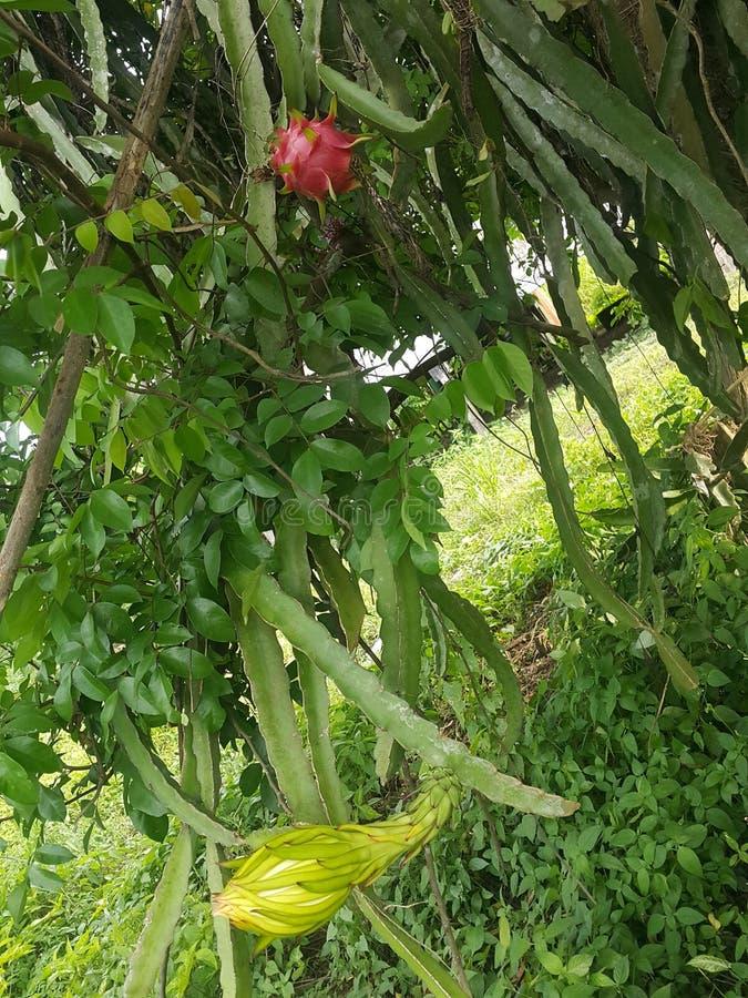 Natürliche Blumen des Fruchtdrachen stockbild