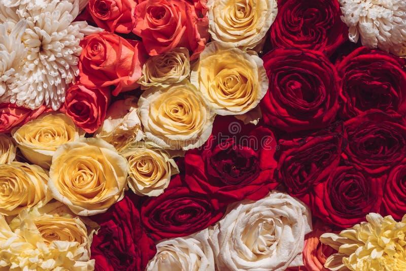 Natürliche bunte Rosen Hintergrund, Abschluss herauf Draufsicht Das Frühlingsblühen senkt stockfoto