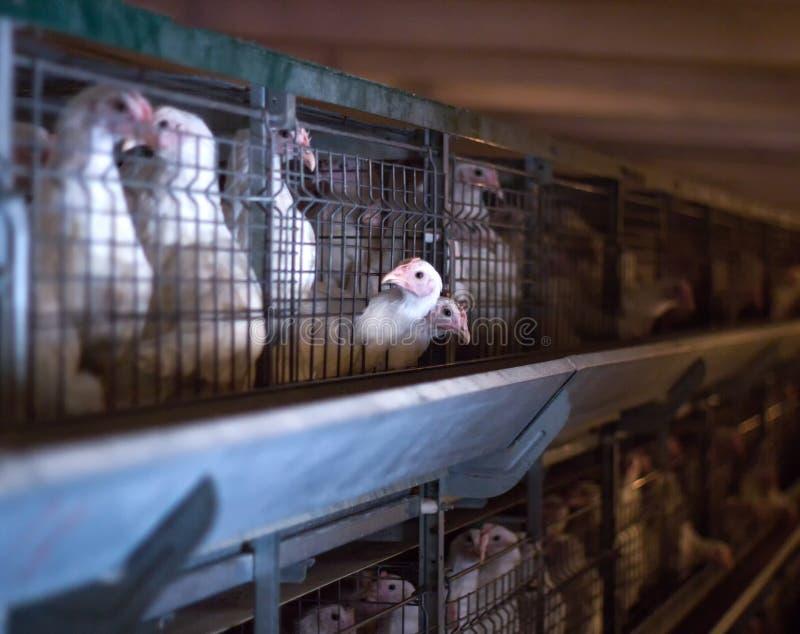 Natürliche Fleischhühner der jungen Tiere, Bruthenne auf dem Bauernhof, Industrie, Nahaufnahme, organisch lizenzfreie stockfotos