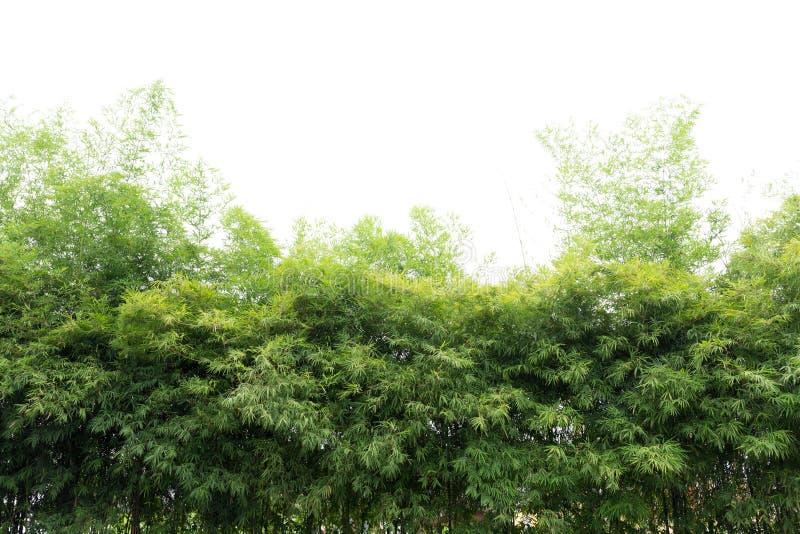 Natürliche grüne Bambuswaldlandschaft stockfotos