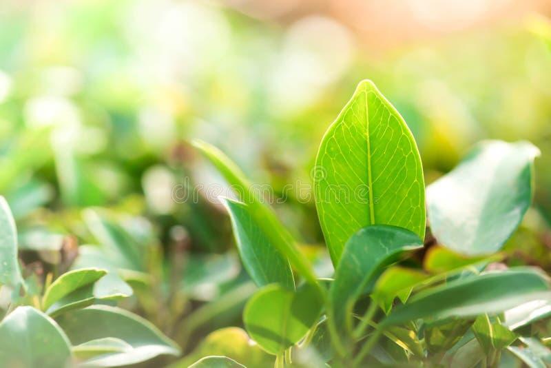 Natürliche Grünpflanzelandschaft Nahaufnahmenaturansicht der grünen Weide stockfotos