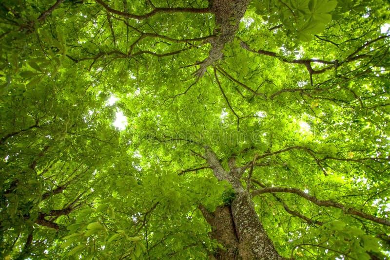 Natürliche große Baumdecke stockfotos