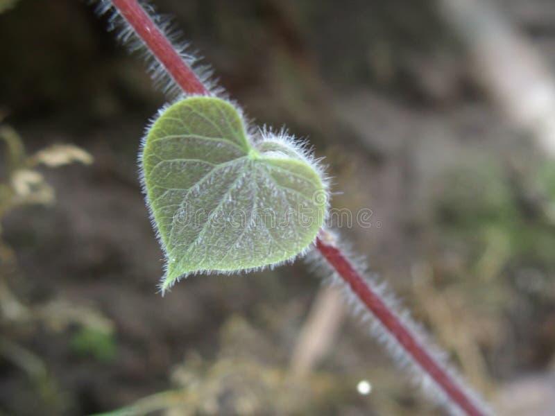 Natürliche Kletterpflanze mit Herzblättern stockfotografie