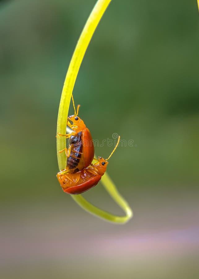 natürliche Liebe des Insekts lizenzfreie stockfotografie