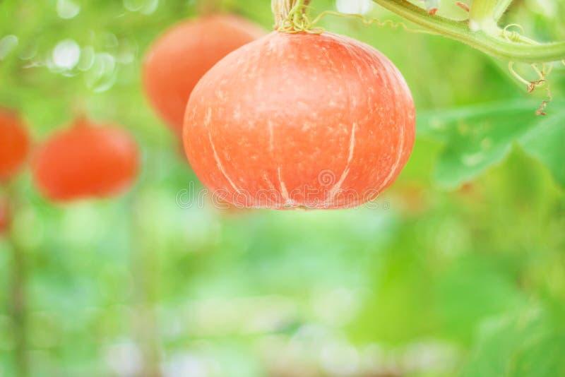 Natürliche Muster frisches orange japanisches Kürbis oder Cucurbita moschata Decne, die im organischen Gemüsebauernhof hängen lizenzfreie stockfotos