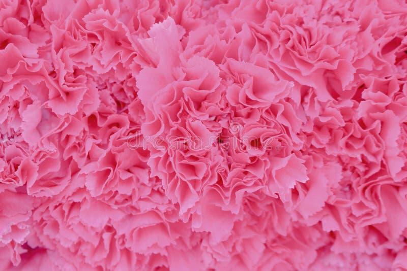 Natürliche Musterbeschaffenheit der Draufsichtrosagartennelkenblume für Tapete oder Hintergrund stockbilder