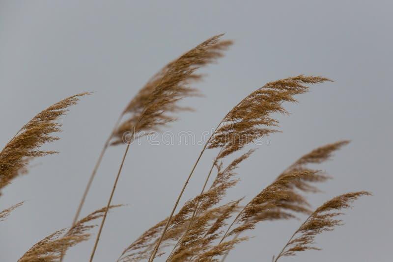 Natürliche Ohren des Schilfs im Wind lizenzfreies stockbild