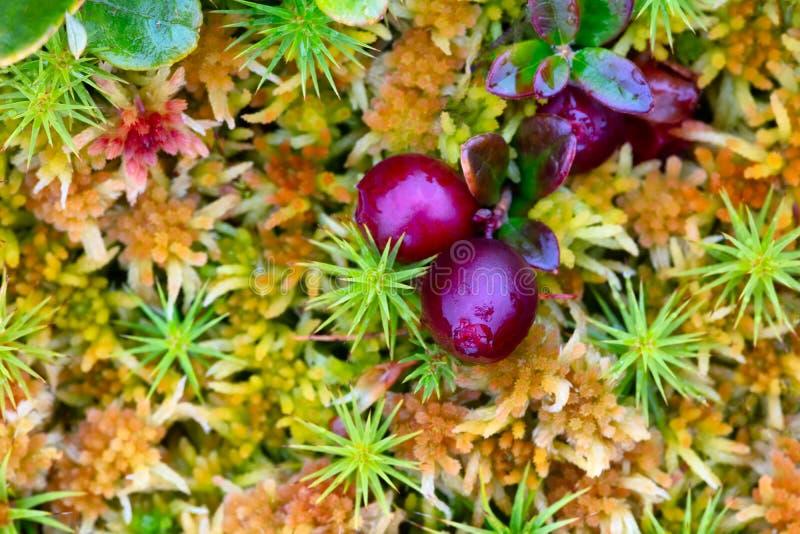 Natürliche Rot-Raps-Traubenbeeren auf Moos-Textur-Hintergrund geschlossen Makro lizenzfreie stockbilder