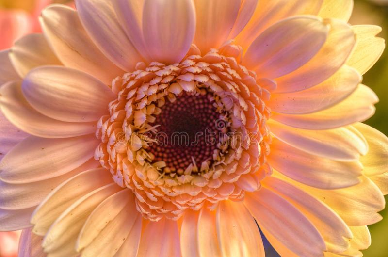 Natürliche Sahnegerberablume stockfoto