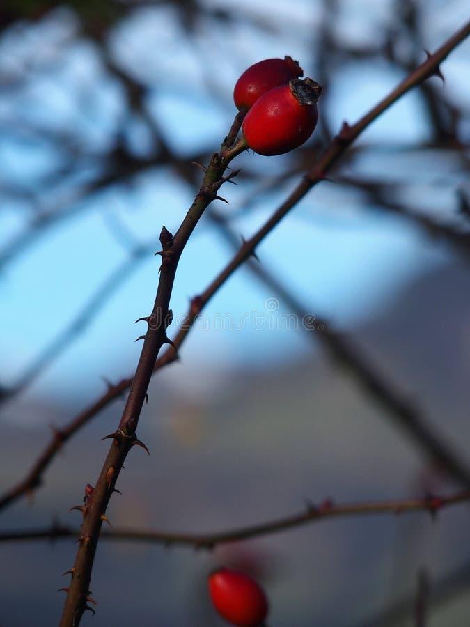 Natürliche wilde rote Beeren im Wald stockfotos