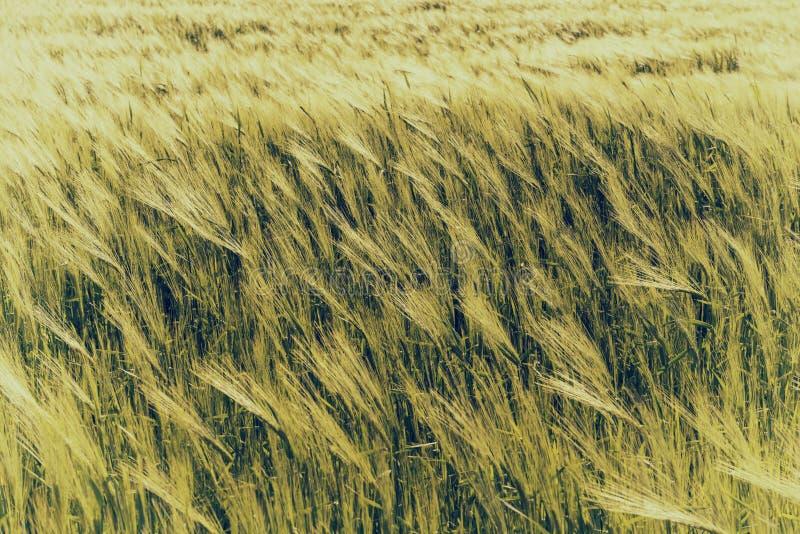 Natürlicher abstrakter eco Hintergrund mit grünem frischem Weizen im Wind stockbilder