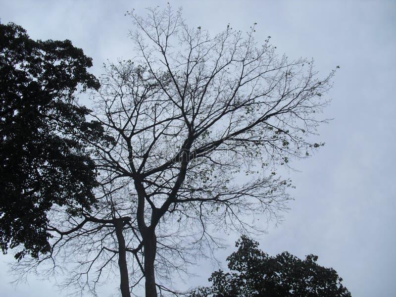 Natürlicher Baum von Sri Lanka stockfotografie