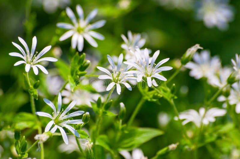Natürlicher Beschaffenheitshintergrund des weißen Details der wilden Blume lizenzfreie stockfotografie
