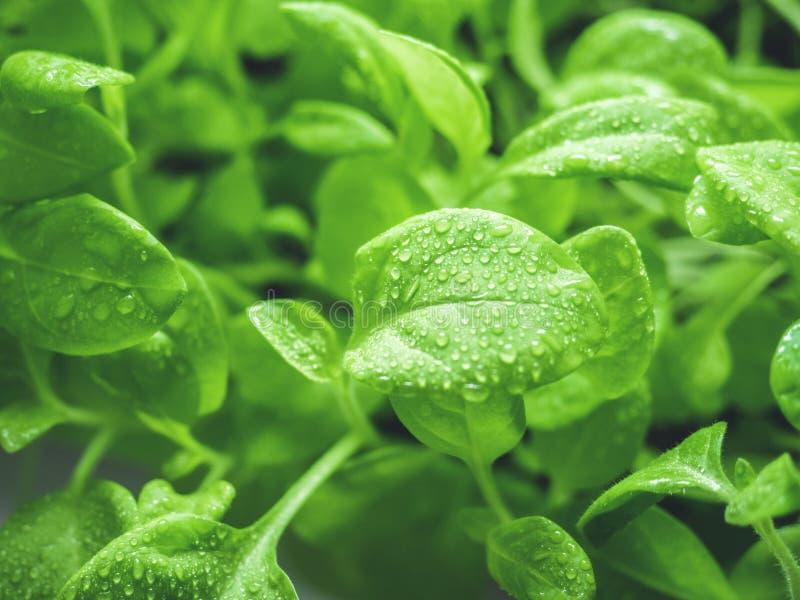 Natürlicher grüner Hintergrund der organischen Frische der Ökologie Junge Sprösslinge der Petunie mit Wassertropfen nahaufnahme stockbild
