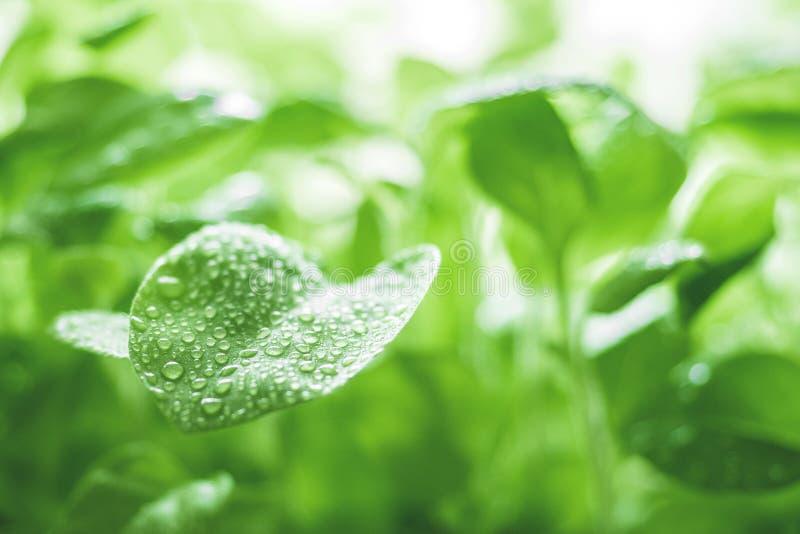 Natürlicher grüner Hintergrund der organischen Frische der Ökologie Junge Sprösslinge der Petunie mit Wassertropfen nahaufnahme stockfotografie