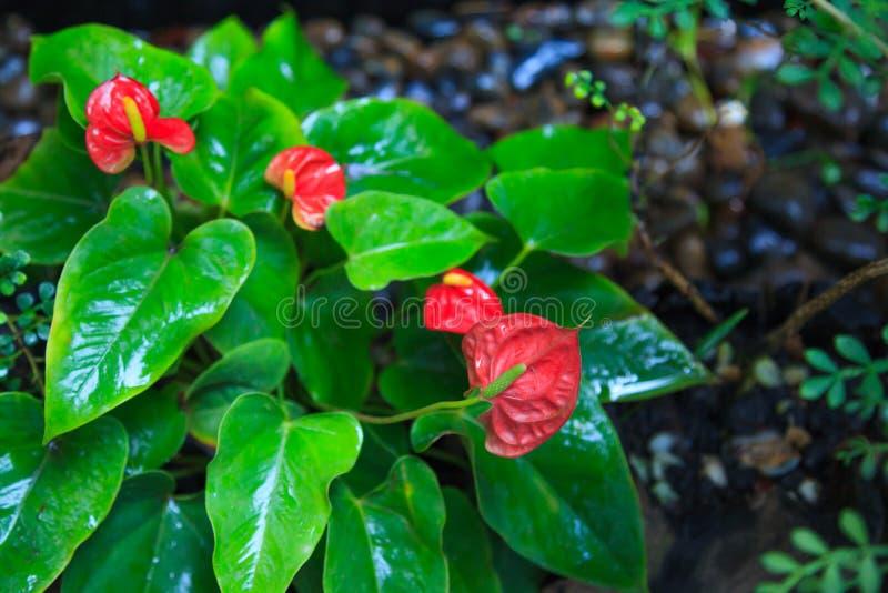 Natürlicher Hintergrund, Blütenschweif Tailflower, Flamingo-Blume, Laceleaf-Anlage und Blume Die Blumen werden in den dichten Spi stockfotos