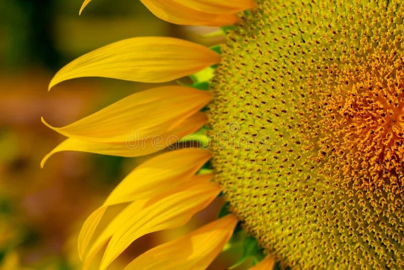 Natürlicher Hintergrund der Sonnenblume, die blühende Sonnenblume, Sonnenblumenöl verbessert Hautgesundheit und fördert Zellregen lizenzfreie stockbilder