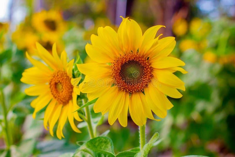 Natürlicher Hintergrund der Sonnenblume, die blühende Sonnenblume, Sonnenblumenöl verbessert Hautgesundheit und fördert Zellregen lizenzfreie stockfotografie