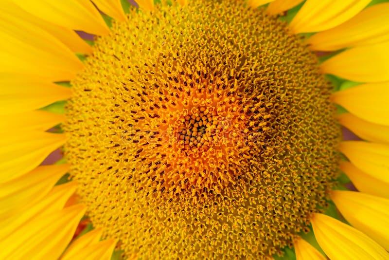 Natürlicher Hintergrund der Sonnenblume, die blühende Sonnenblume, Sonnenblumenöl verbessert Hautgesundheit und fördert Zellregen stockfotografie